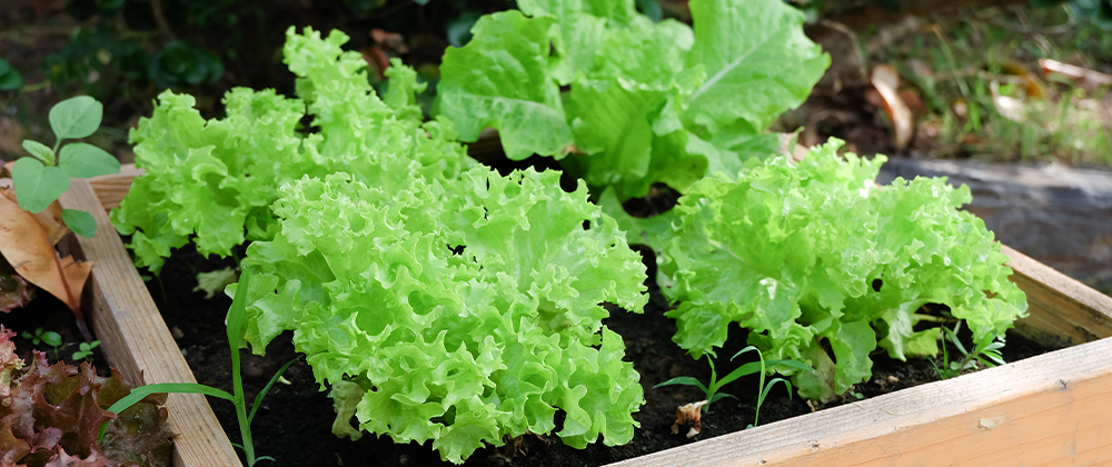Vegetables That Grow Best In A Raised Garden Bed Plant Perfect